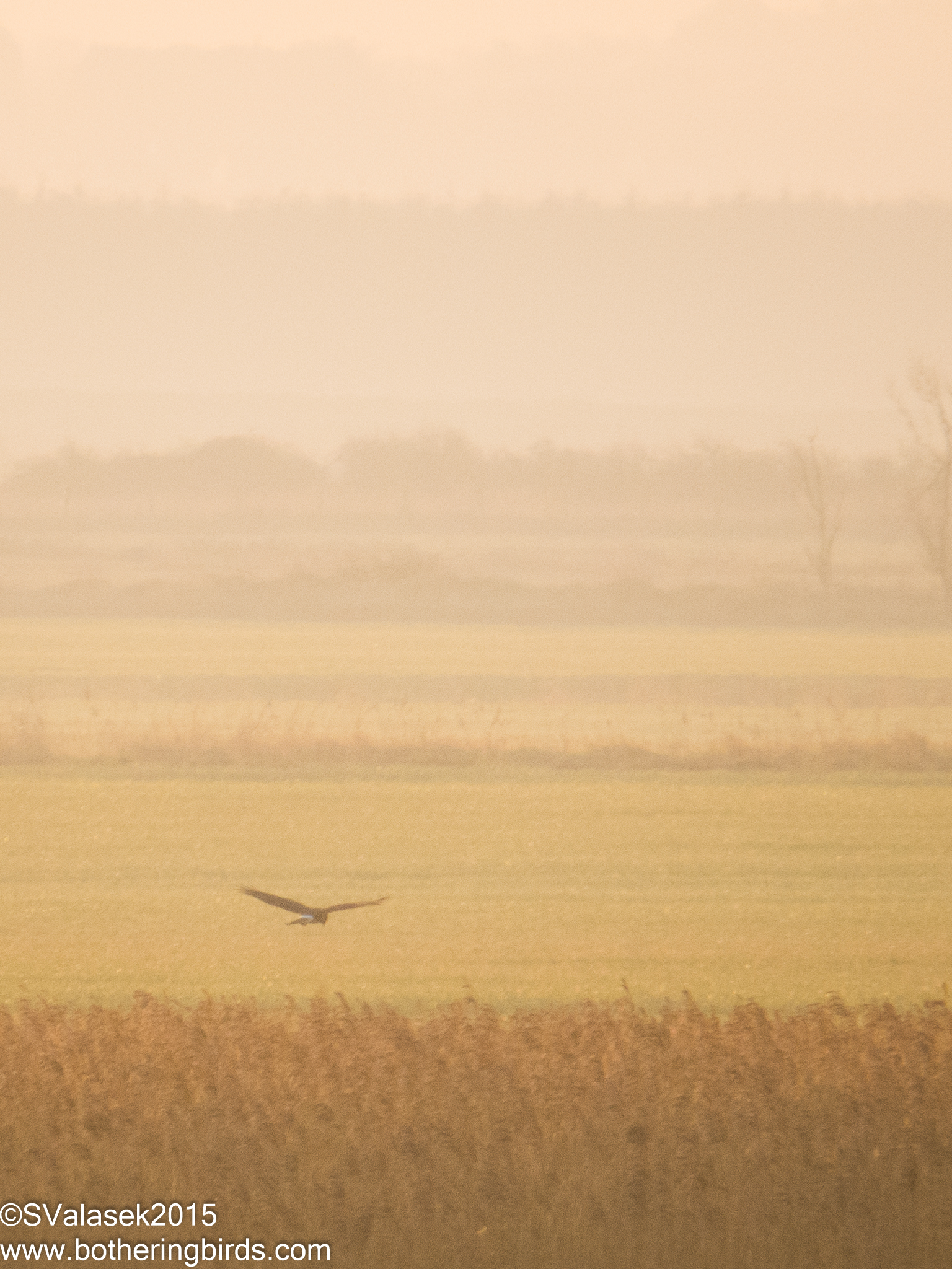 Hen Harrier 2