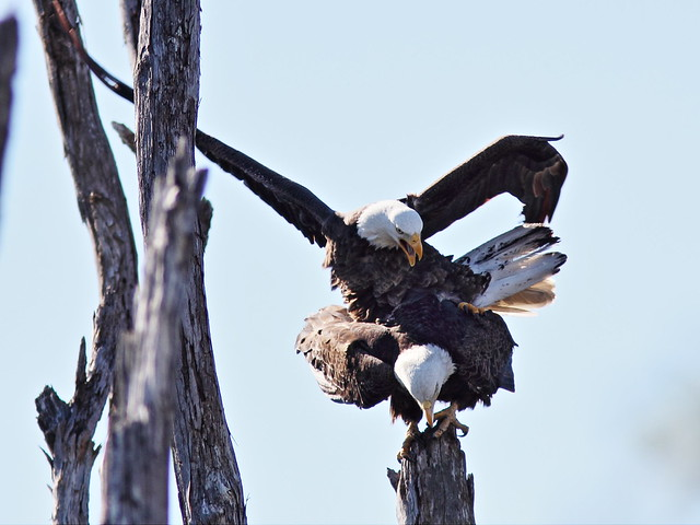 Bald Eagles mating 4-20150128