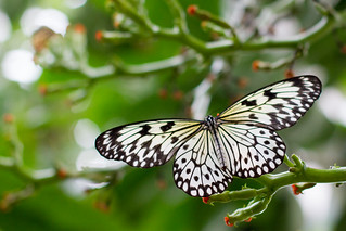 7-008200-150124-HMNS-Butterfly-L