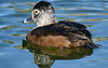 Ring-Necked Duck Hen