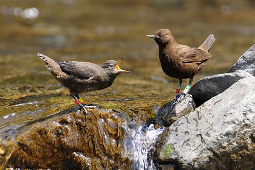 河烏幼鳥正在向親鳥討食。圖片來源:屏科大野保所鳥類生態研究室