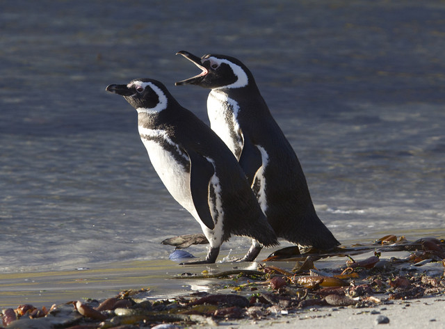Penguins, Falklands.