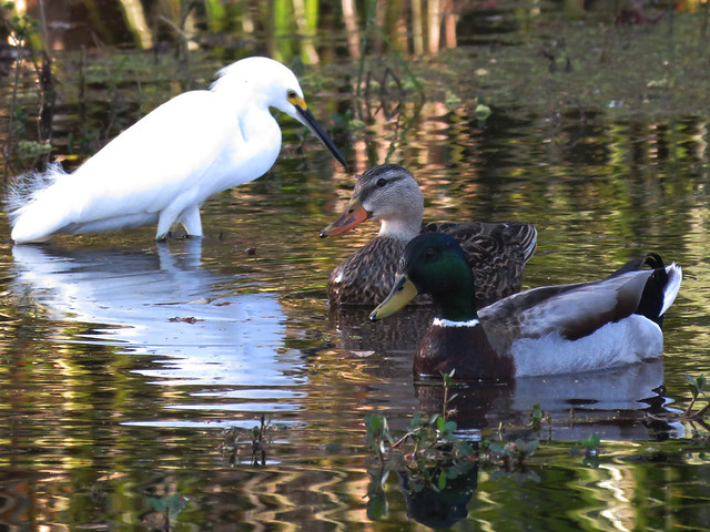 Mallards w/ Snowy Egret