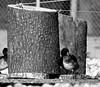 Ducks Geese 23.09 (1)