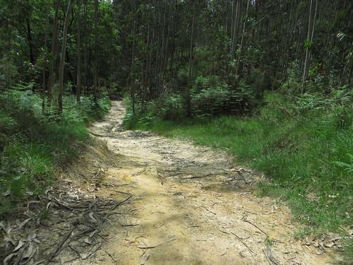 20160527 09 339 Jakobus EukalyptusWald Weg steil