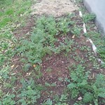 carrot planting in Bed 17 (Next to poly-tunnel) by Midfields