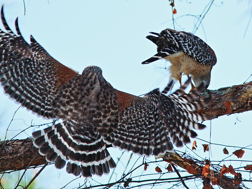 Red-shouldered Hawks 02-20150222