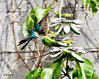 Beija Flor na Passiflora