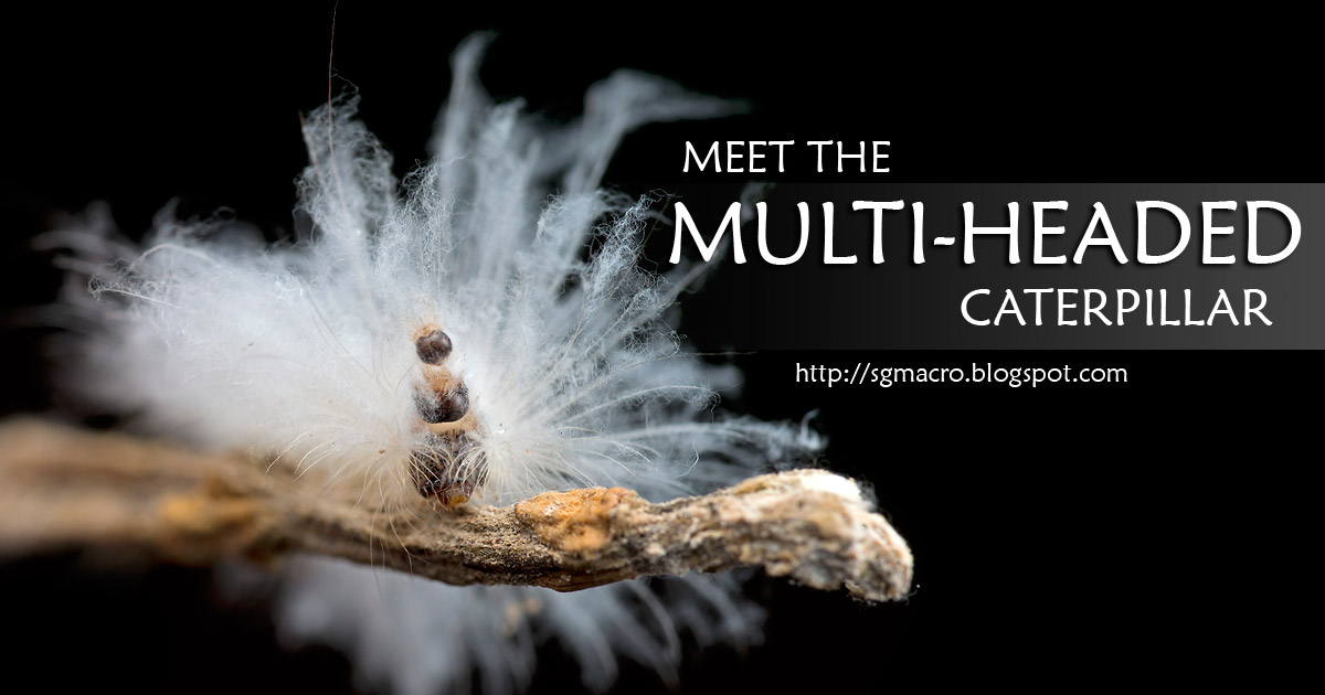 Meet the Multi-Headed Caterpillar