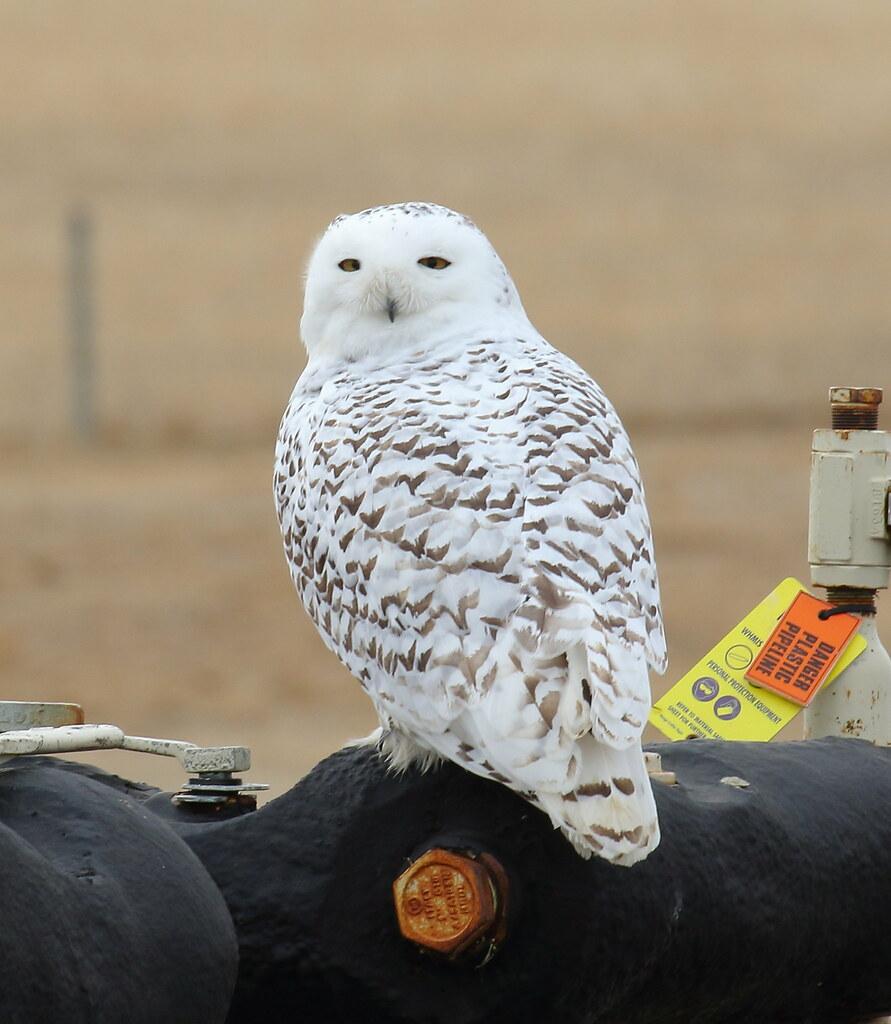 Snowy Owl  3926