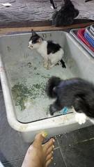 cek feses kucing sapi masih ada feses kah