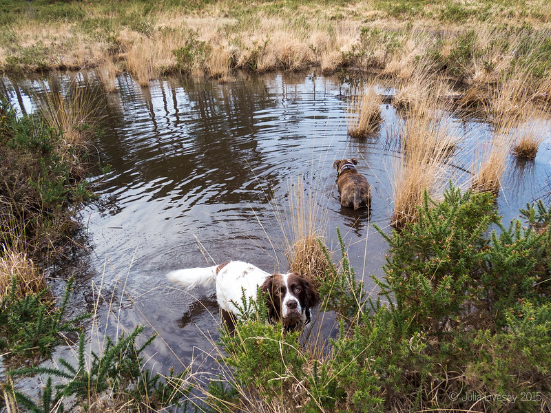 Two dogs in the pond