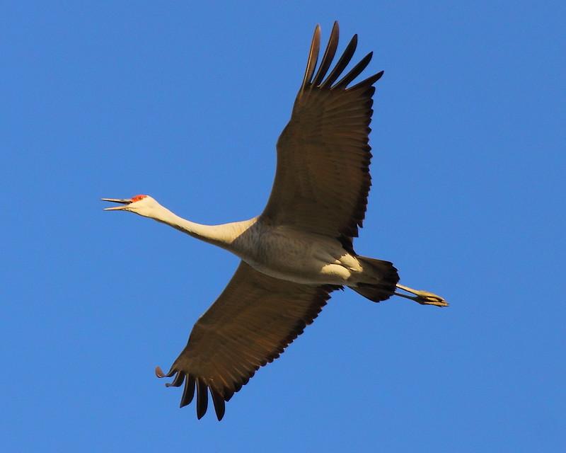 IMG_0543 Sandhill Cranes, Merced National Wildlife Refuge