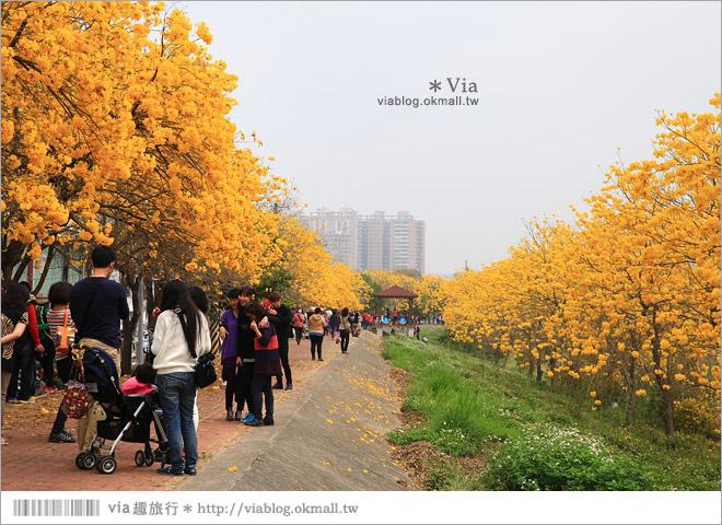 【嘉義景點】嘉義軍輝橋黃金風鈴木~全台最美的堤防!開滿滿的風鈴木美炸了!7