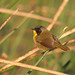 Black-polled Yellowthroat, Almoloya del Rio, Mexico por Terathopius