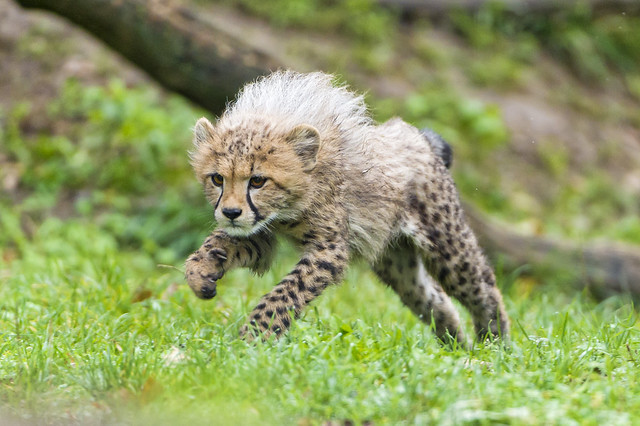 Jumping cheetah cub