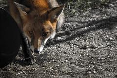 Saltholme RSPB Fox Eyes