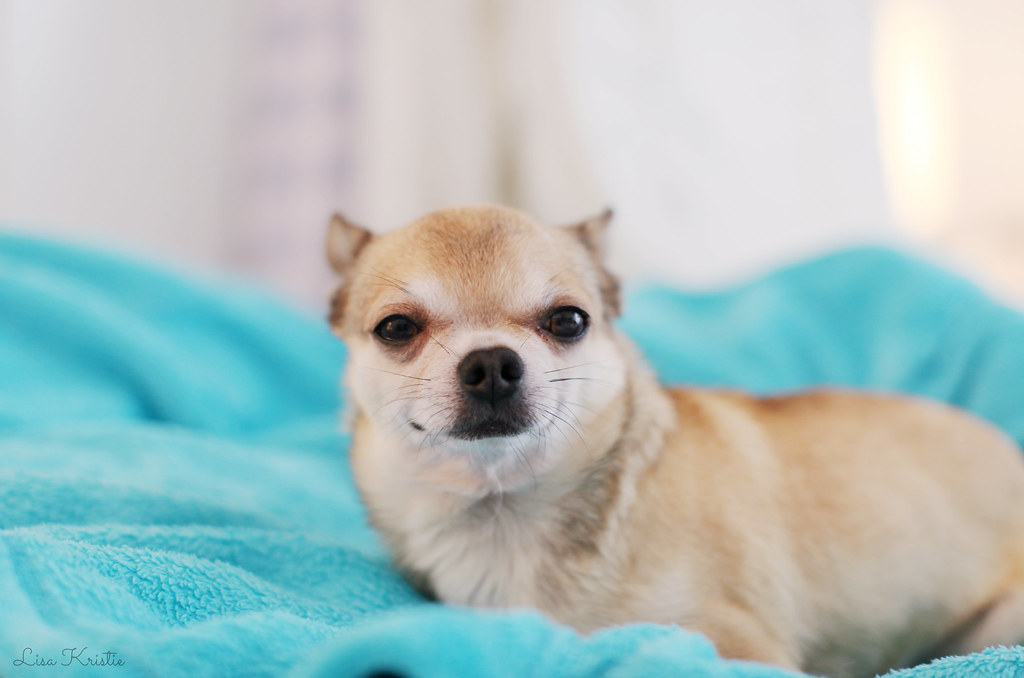 chihuahua male adult cream brown tan black short haired smooth coat closeup cute adorable beautiful turquoise fleece blanket sleepy chilling relaxed
