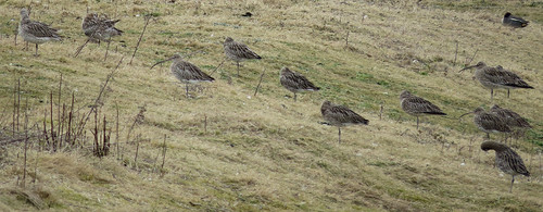 Curlew Numenius arquata Tophill Low NR, East Yorkshire February 2015