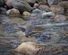 American Dipper, mating behaviour - 1 of 8