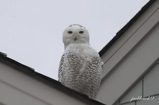 """Snowy Owl"" ""Bubo scandiacus"""