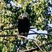 Eagle watching over the Anacostia River Sunday Morning, Washington, DC by jimhavard