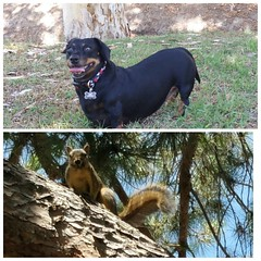 It was on at the park today Miss Weenie squared up with mister squirrel in a stare off 🐶 ended up in a tie #dachshundsofinstagram #dachshund #doxie