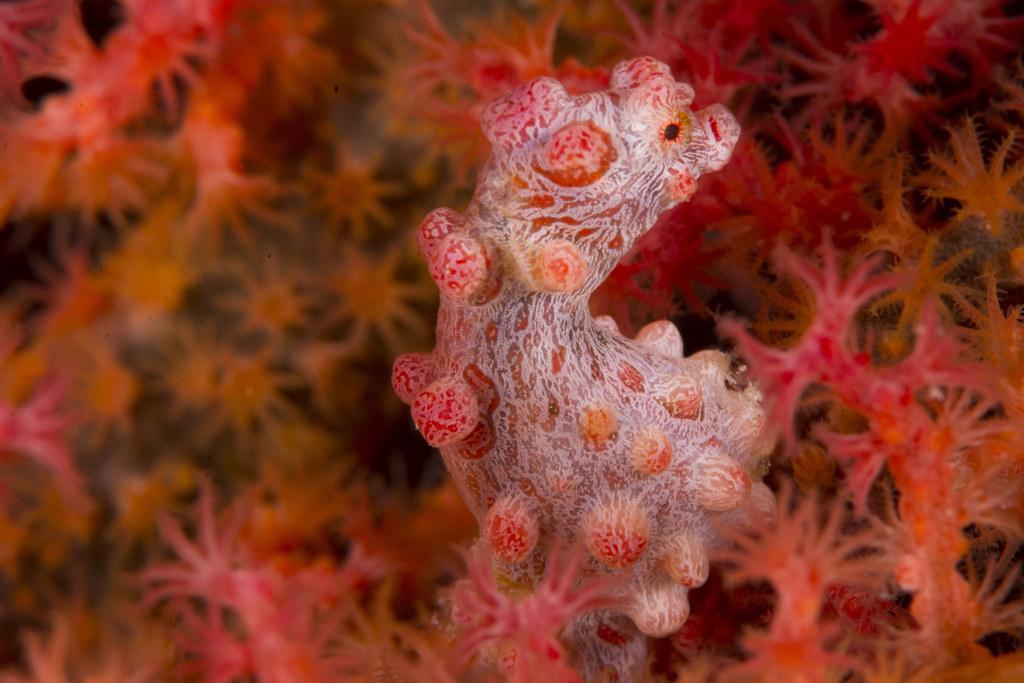 Pygmy seahorse at Wakatobi, Indonesia