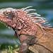 Green iguana by CMich5