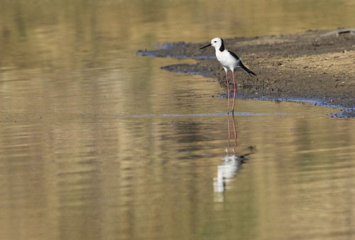 Black-winged Stilt 2015-02-06 (_MG_1166)