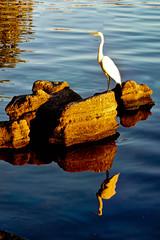 Egret at Castaway Point Park