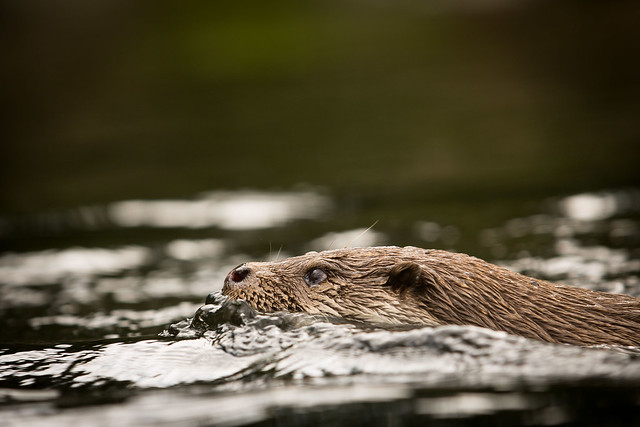 closeup profile of a river otter swimming, its eyes and nose just out of the water. It has a very intense, focused look on its face.