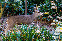 ? Mule Deer (Odocoileus hemionus)