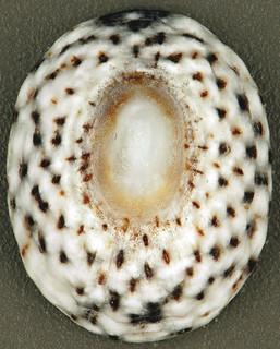 Lottia jamaicensis (Jamaica limpet) (San Salvador Island, Bahamas) 1