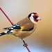 Goldfinch  by Chris Nickerson