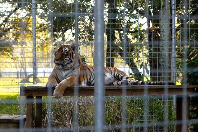 Bengali the Tiger