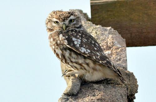 DSC_2049 Little Owl