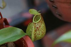 N. Little Apple