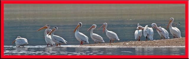 White Pelican_9588