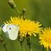 Papillon - Piéride du chou IMG_7502 (1)