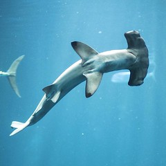 common bottlenose dolphin(0.0), dolphin(0.0), animal(1.0), marine mammal(1.0), fish(1.0), marine biology(1.0), cartilaginous fish(1.0),