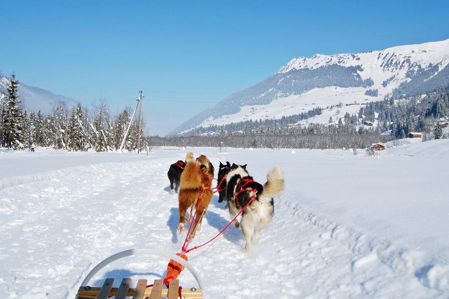 Balade chiens de traineau chiens de traineau (7)