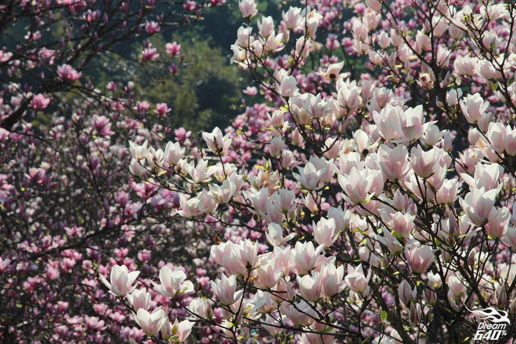 2015楓樹湖木蓮花30