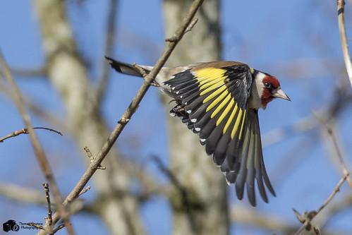 "Goldfinch ""Carduelis carduelis"""