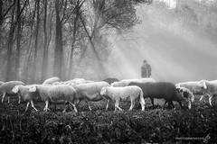 il pastore...