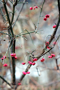 Winter 2014 - 2015 / Spindle Tree