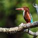 White-throated kingfisher by Nuwan Liyanage - Sri Lanka
