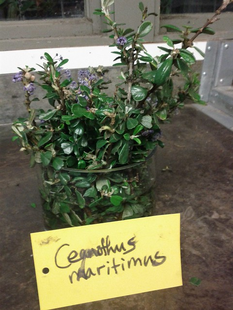 Header of Ceanothus maritimus