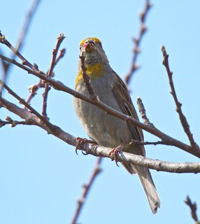 Crimson-browed Finch