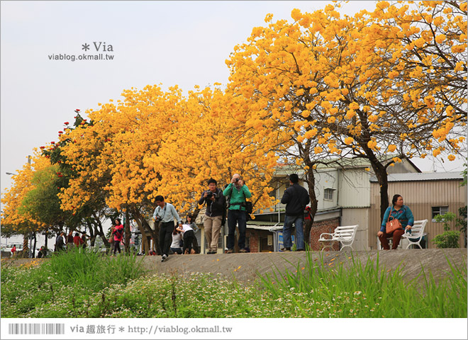 【嘉義景點】嘉義軍輝橋黃金風鈴木~全台最美的堤防!開滿滿的風鈴木美炸了!9
